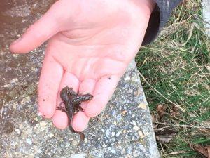 IMG_0332-salamanders